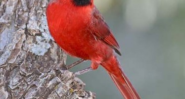 List of State Birds in the United States